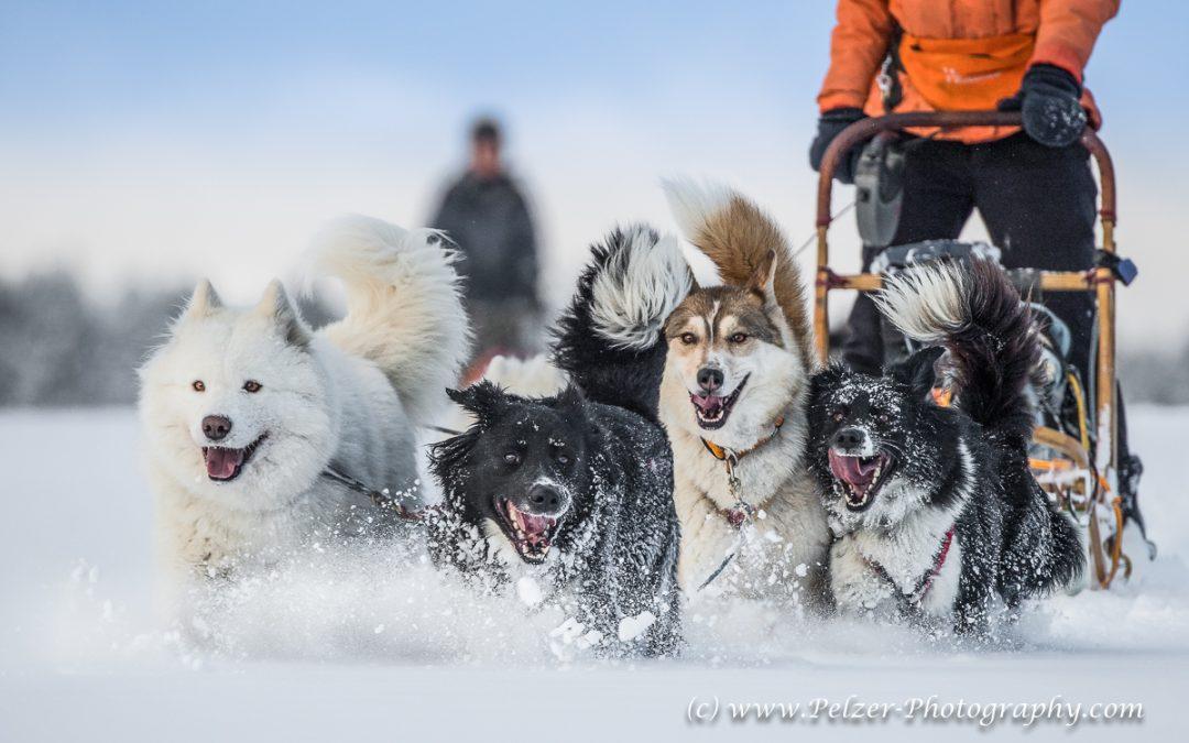 Schlittenhunde in Thüringen Sommer und Winter